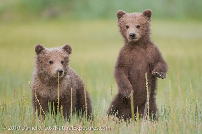 Baby brown bear - photo#17