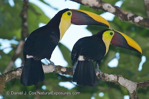 A mating pair of chestnut-mandibled toucans.