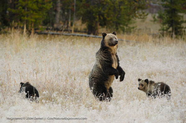 D00036292 600x397 Grizzly Bears Keep Threatened Status Until 2014