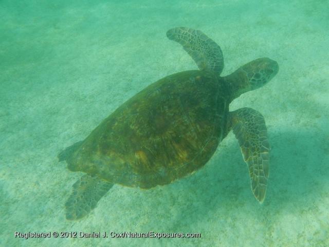 Green Sea Turtle (Chelonia mydas) swimming near Lobos Islet , San Cristóbal Island, Galapagos, Ecuador.
