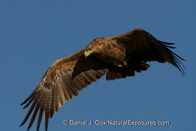 A Tawny Eagle flies over head. Masai Mara Game Reserve, Kenya.