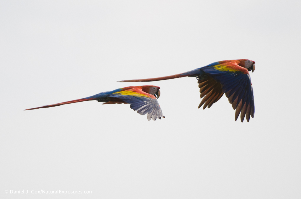 Scarlet Macaws (Ara macao) in flight. Costa Rica
