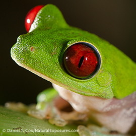 Portrait of a Red-eyed Tree Frog (Agalychnis callidryas). Costa Rica