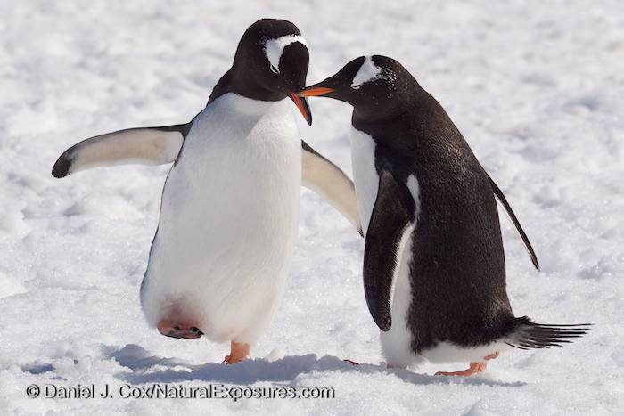 Pair of Gentoo Penguins on Cuverville Island. Antarctica. Lumix GH3.