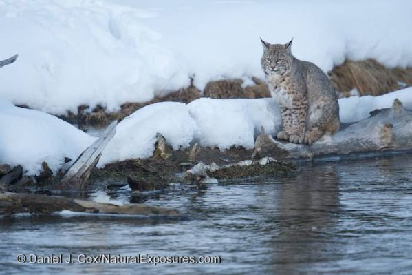 The Bobcat of Seven Mile Bridge takes a break wheel hunting along the Madison River in Yellowstone Nationa Park.