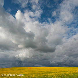 A storm is brewing over a Canola field in the Palouse near Moscow, Idaho State, USA