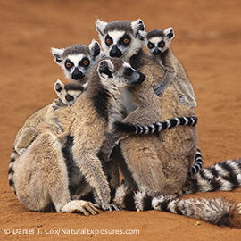Ring-tailed Lemur (Lemur catta) group grooming in Madagascar.