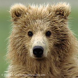 Alaskan Brown Bear (Ursus middendorffi) portrait of a cub. Alaskan Peninsula