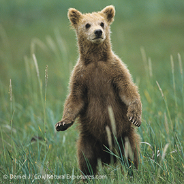 Alaskan Brown Bear cub standing up in the grass. Katmai National Park, Alaska
