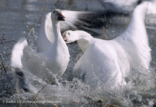 A snow goose and a blue goose have an altercation on the Bosque Del Apache NWR, New Mexico.