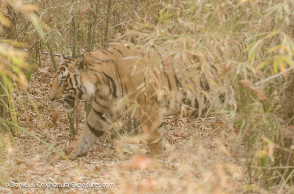 """Tigers are listed as """"endangered"""" on the Red List of Threatened Species."""