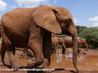 Orphaned elephants at the The David Sheldrick Wildlife Trust, elephant orphanage near Nairobi, Kenya
