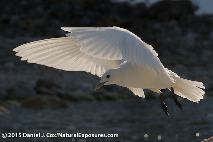 Ivory Gull Endangered an Ivory Gull Comes in on The