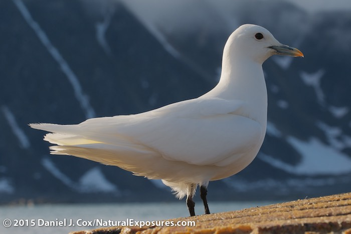 Ivory Gull Endangered an Ivory Gull Perched on The