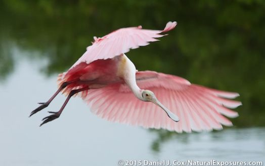 A beautiful roseate spoonbill photographed along the coast in central Florida. GH4 with 40-150mm F/2.8 and 1.4 teleconverter. ISO 1600