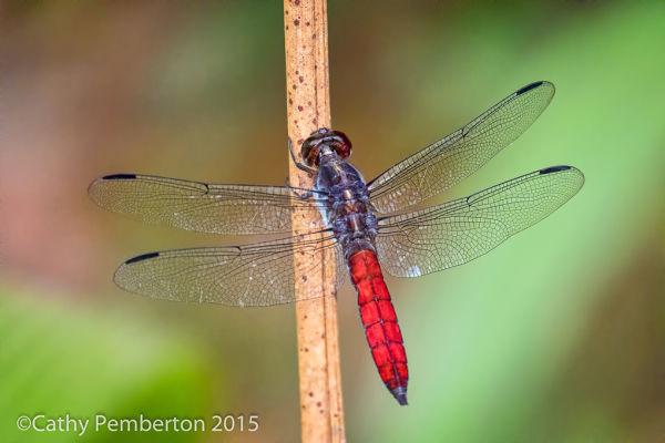 Dragonfly, Bosque del Cabo