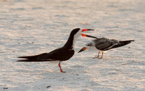 Black Skimmer, juvenile begging for food.  Sarasota beach, Florida. This image was shot with the Lumix GX8 and the Olympus 40-150mm  lens with the 1.4X teleconverter. Having in body IS in the GX8 gave me IS I would not have had since the Olympus lens does not have in lens IS.