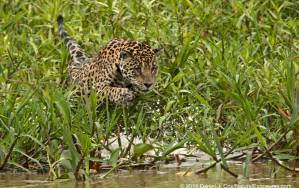 Jaguar at the start of an attack on a Caiman. Pantanal, Brazil.