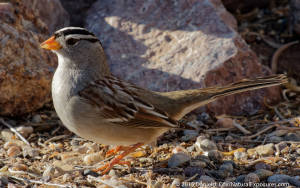 White-crowned Sparrow, Bosque del Apache NWR, New Mexico. Lumix GH4 with 100-400mm zoom at 400mm. ISO800
