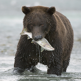 Alaskan Brown Bear (Ursus middendorffi) fishing in Katmai National Park, Alaska.